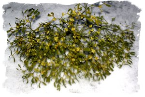 Mistletoe bunch on the snow ©vcsinden